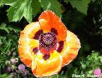 Bright Poppy in early July.